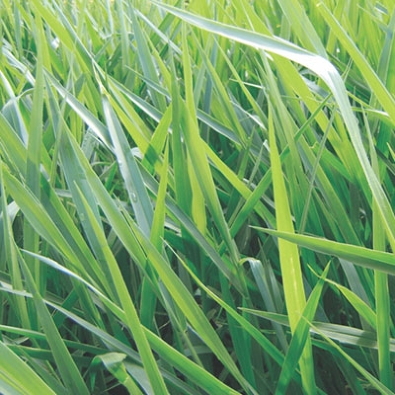 Custo de Sementes para Formação de Pastagens Alto Taquari - Sementes de Pastagens para Bovino