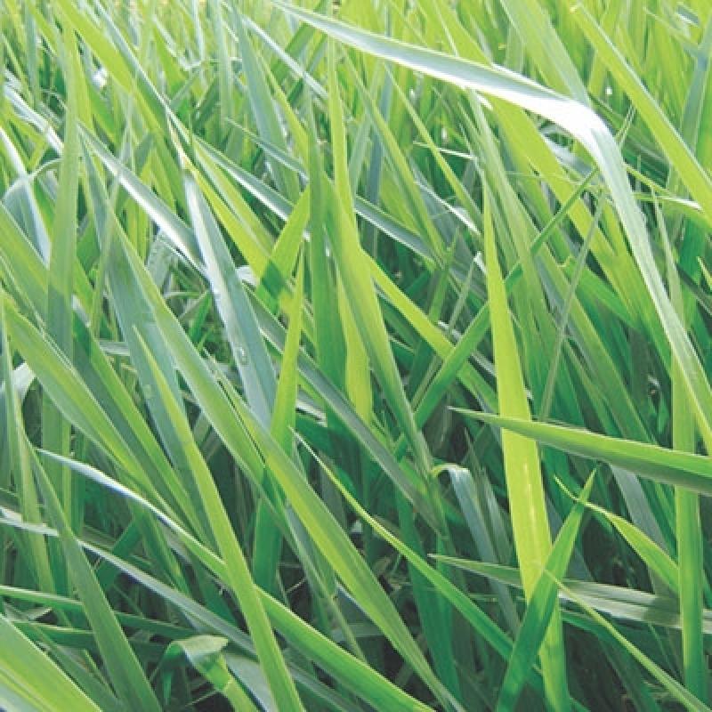 Empresa Especializada em Semente de Pasto Solo Fraco Orlândia - Semente de Pasto para Solo Fraco