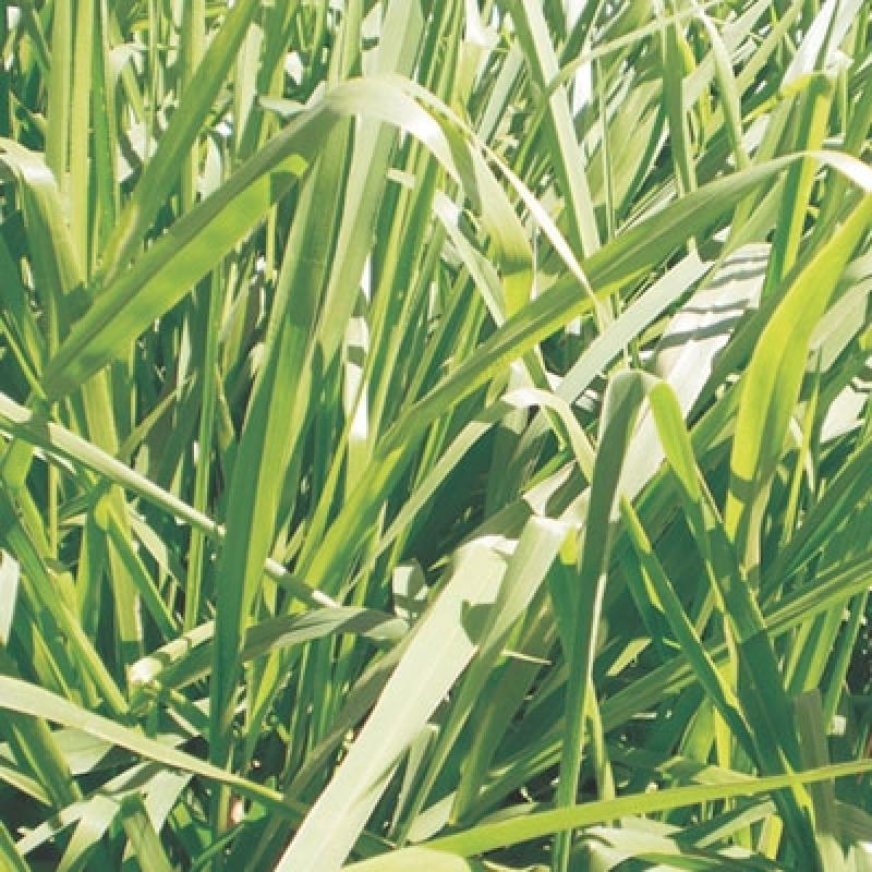 Onde Comprar Sementes de Brachiaria Mg4 Porto Velho - Sementes de Brachiaria Ruziziensis