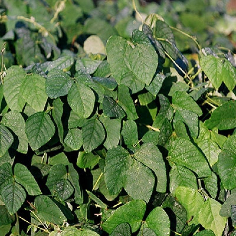 Onde Encontro Semente de Adubação de Pastagem Mato Grosso - Semente Adubação de Pasto