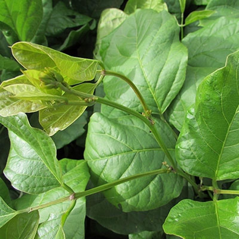 Procuro por Semente Feijão de Adubação Verde Acre - Semente Feijão Tipo Guandu para Adubação Verde