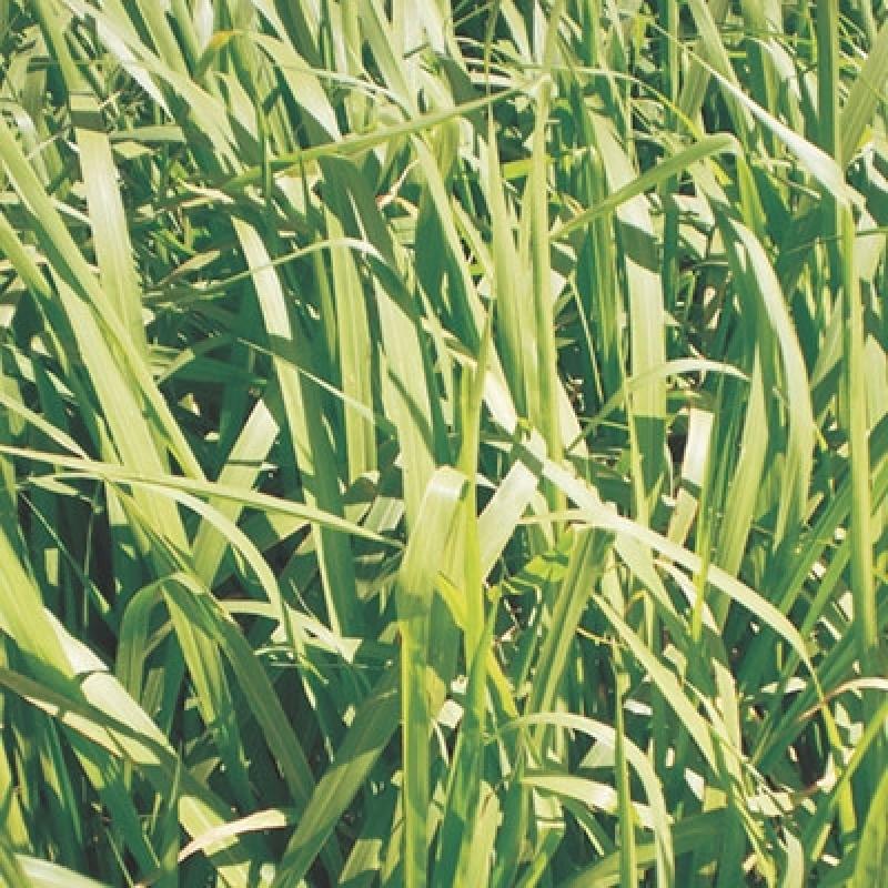 Semente de Pasto para Feno Orçamento Comodoro - Semente Forrageira de Feno