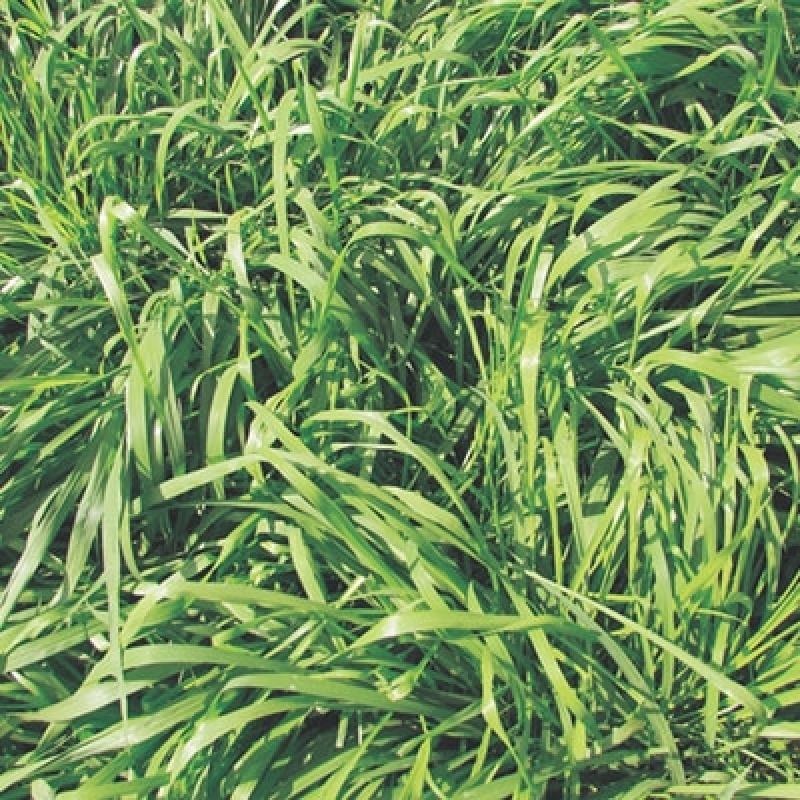 Semente de Pasto para Solo Fértil Preço Goiânia - Semente de Pasto para Solo Fraco