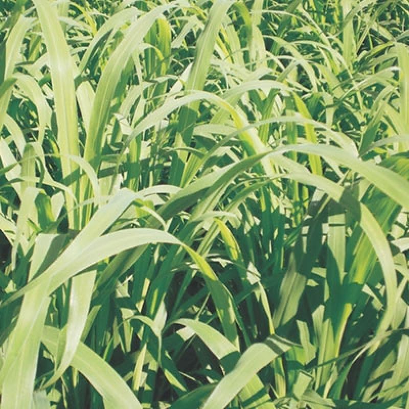 Semente de Pasto Solo Fértil Marília - Semente de Pasto para Solo Fraco