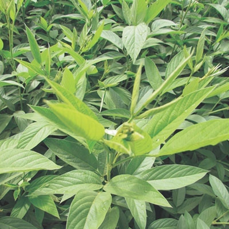 Semente Feijão de Adubação Tipo Guandu Melhor Preço MURIAÉ - Semente Feijão Adubação Verde Guandu