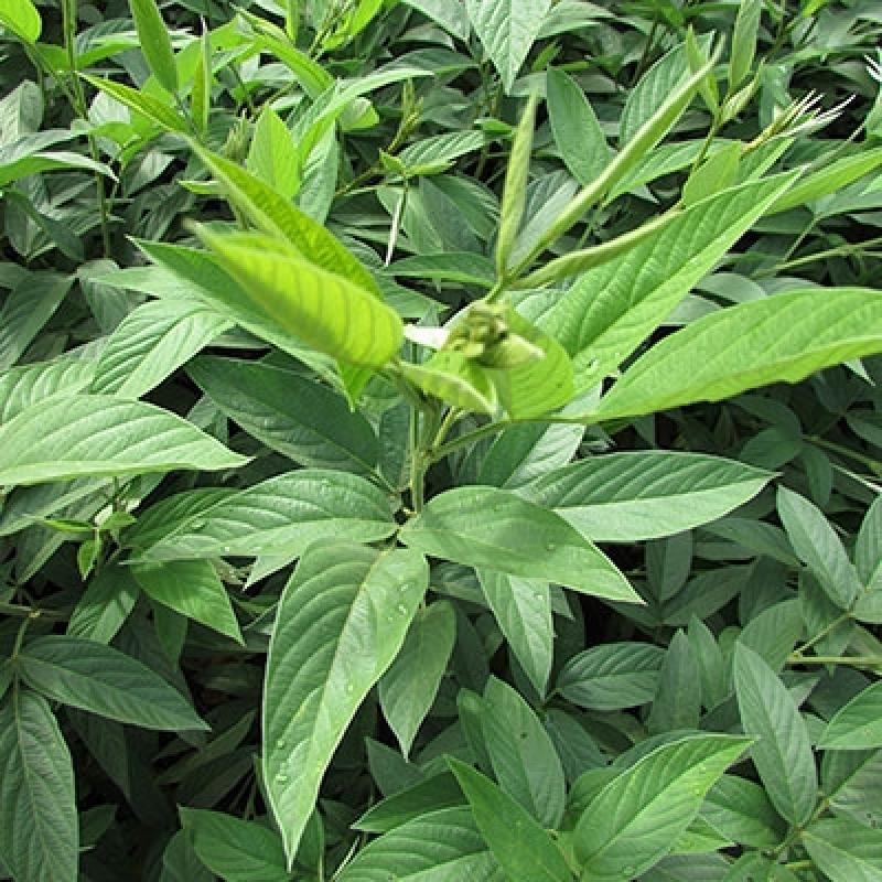 Semente Feijão de Adubação Verde Porto Velho - Semente Feijão de Adubação Tipo Guandu