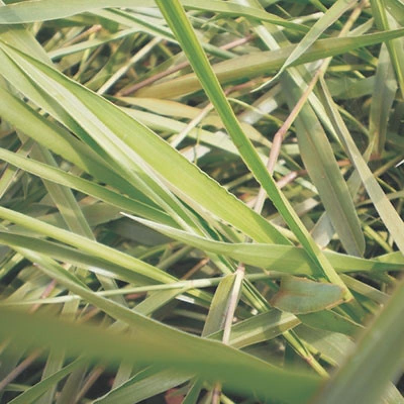 Sementes de Brachiaria Humidicola para Comprar Álvares Machado - Sementes de Brachiaria Humidicola
