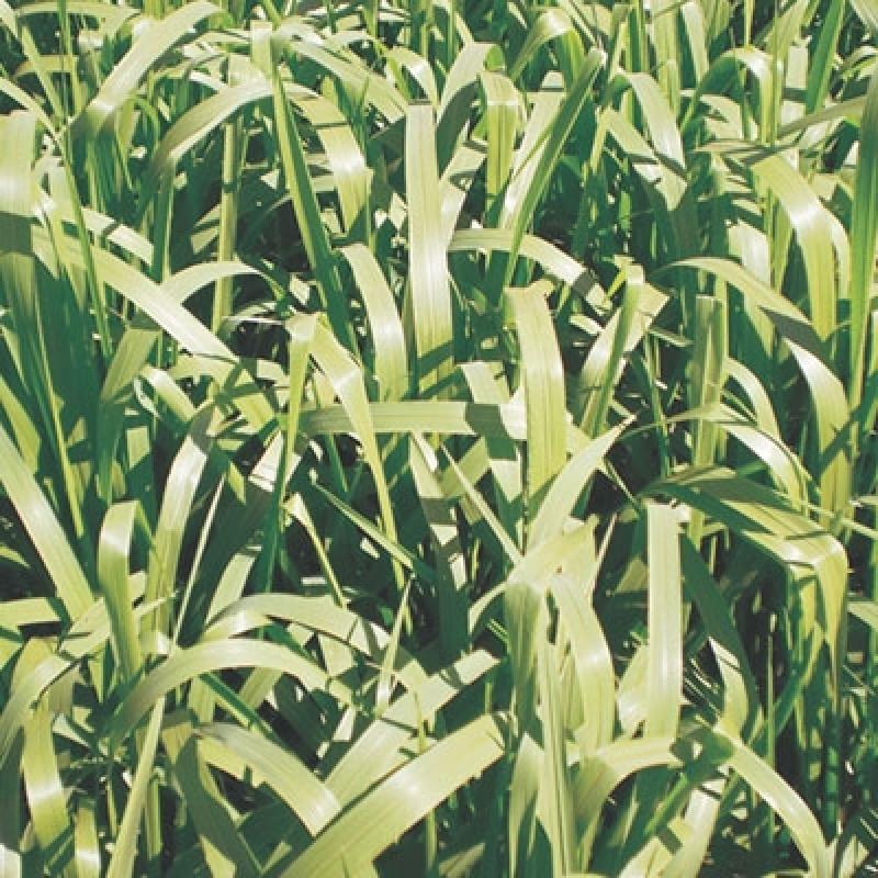 Sementes de Brachiaria Mg5 para Comprar Serrana - Sementes de Brachiaria Brizantha