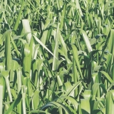empresa para sementes de capim para gado corte Leme