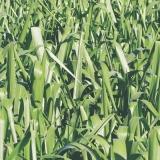 fornecedor de semente de pasto para solo fértil