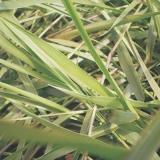 semente braquiaria humicola valores Leme