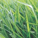 sementes para formação de pastagens