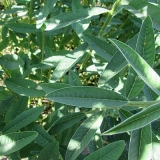 sementes crotalaria Natal