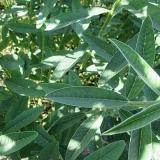 semente adubação de pasto