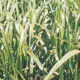 semente brachiária piatã