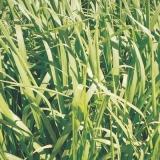 sementes de capim gado de leite