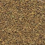 sementes capim tanzânia