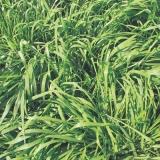 semente de pasto para solo fértil