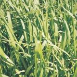 semente de pasto solo fértil