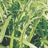 sementes para forragem