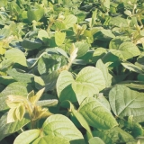 sementes leguminosas pasto Americana